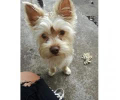 Buddy, male yorkie missing
