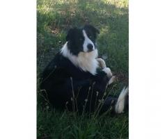 Lost Border Collie missing from Friday the 30th November