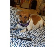 Female Jack Russel Terrier