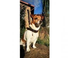 Missing Jackrussel