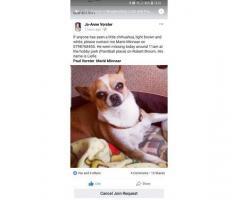 Chihuahua Liefie - Lost in Krugersdorp
