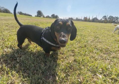 Lost Dutchhound