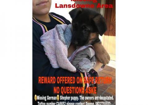 MISSING 8 WEEK OLD PUPPY R10000 REWARD FOR SAFE RETURN