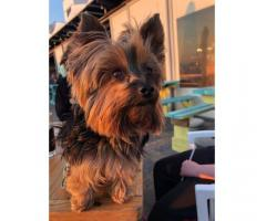 Missing Yorkie Cape Town
