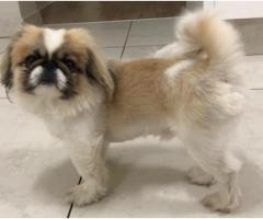 Small Pekingese male dog: melrose