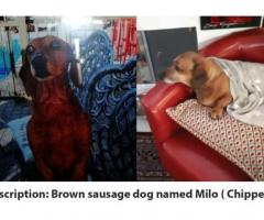 Lost DSausage Dog Named Milo