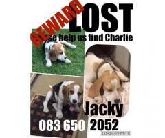 Lost Beagle