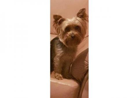 Missing female yorkie name Tolouse