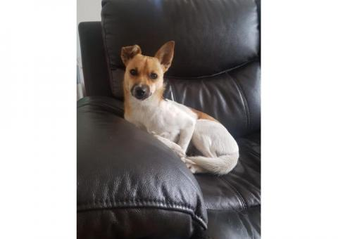 Missing Female Jack Russell
