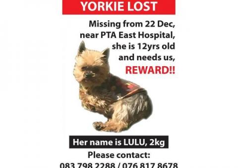 Yorkie Lulu is missing