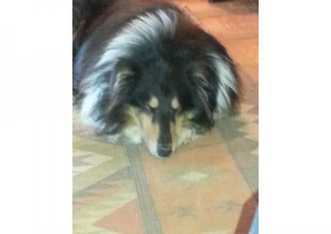 Found and reunited! - Rough collie missing in Paternoster