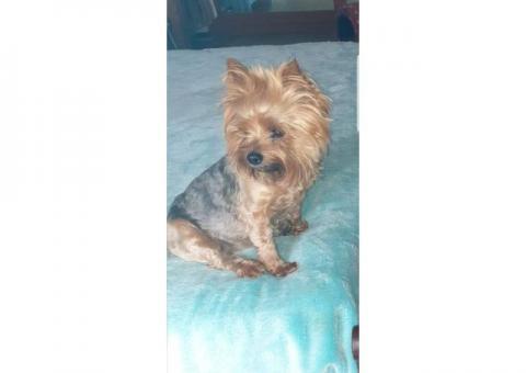BACK HOME AGAIN!! Lost Yorkshire Terrier BREDASDORP