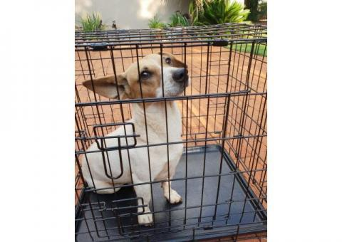 Jack Russell found looking for owner