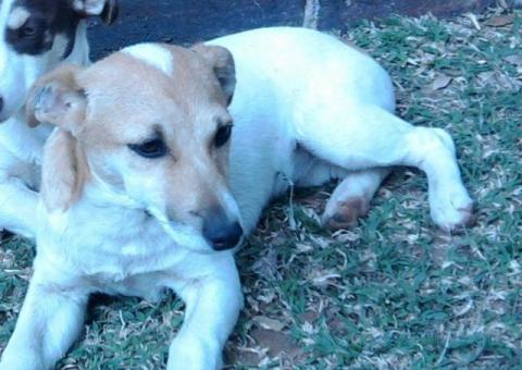 Lost female Jack Russell in Rustenburg called Cheeky