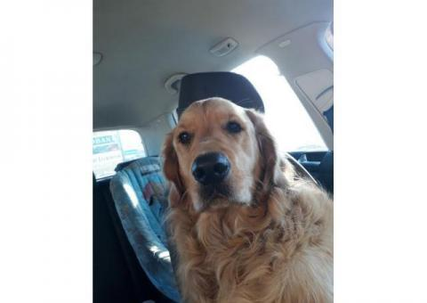 Lost 3 year old Golden Retriever - Milnerton and surrounds -R5000 reward leading to his rescue
