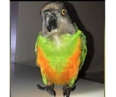 Kevin the Senegal Parrot