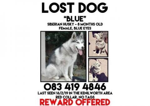Lost husky Kenilworth area