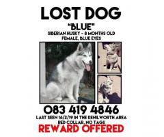 Lost husky Kenilworth area