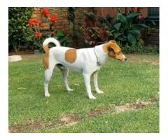 Missing Jack Russel - REWARD