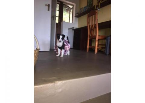 Missing Border collie puppy