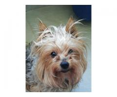 Yorkie female missing