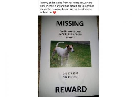 Female Jack Russell missing