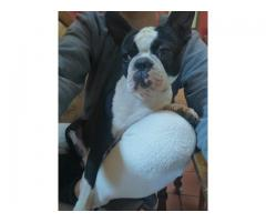 MALE BOSTON TERRIER - 1YEAR OLD