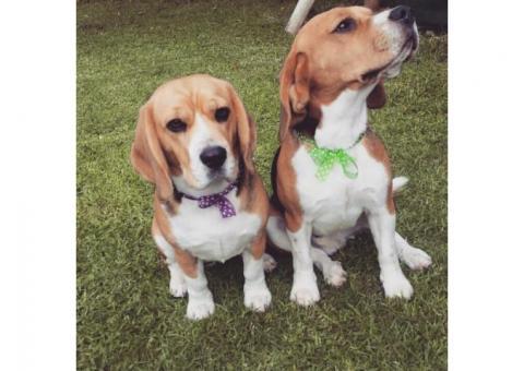 Missing Beagle