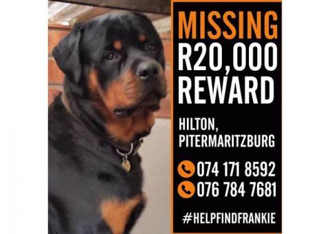 Missing Rottweiler