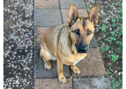 Lost Alsatian/Afrikanus dog