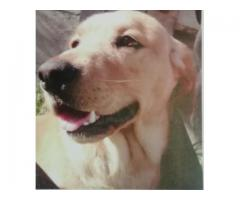 Labrador: Golden: Male - 2 years old - Kuilsriver area