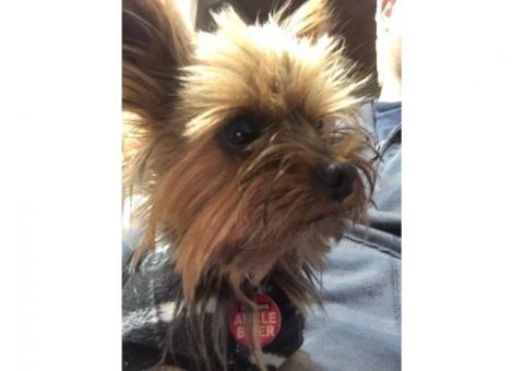MISSING Miniature Yorkie - PLEASE HELP!