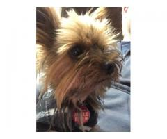 MISSING Miniature Yorkie - PLEASE HELP!