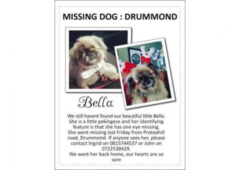 Missing dog from Drummond