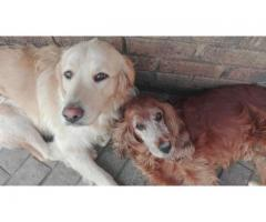 Golden Cocker spaniel missing from Bonaero Park, Kempton Park on evening of 22 August 2019