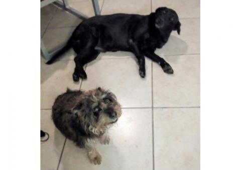 2 Dogs found in Durban north, Danville area: small male terrier and large female black lab