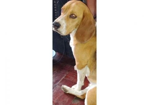 Male Beagle found in East Town Johannesburg