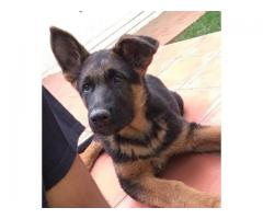 Lost male German Shepherd