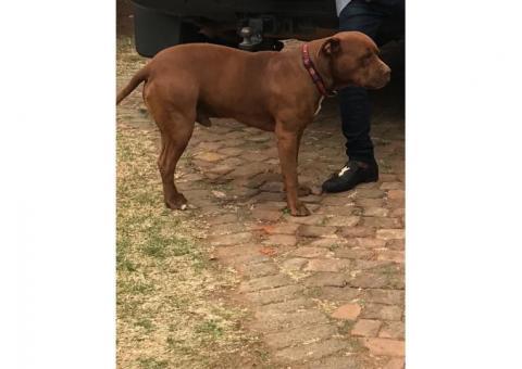Lost dog | Gauteng | Kempton Park | Pit bull
